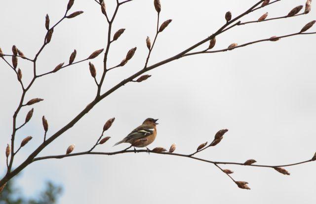 Chaffinch sings in beech tree