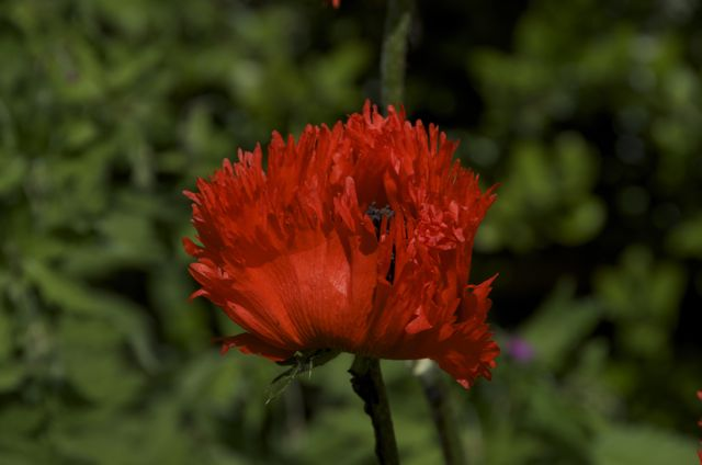 Red poppy with frilly petals