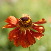 Beautiful seedheads of Helenium 'Moerheim Beauty'