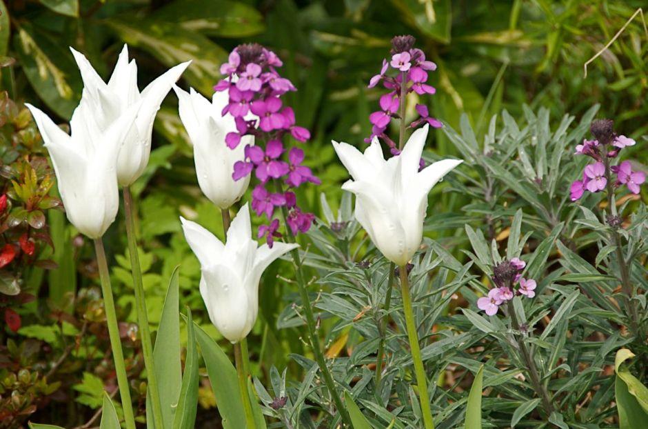 White tulip and Bowle's Mauve