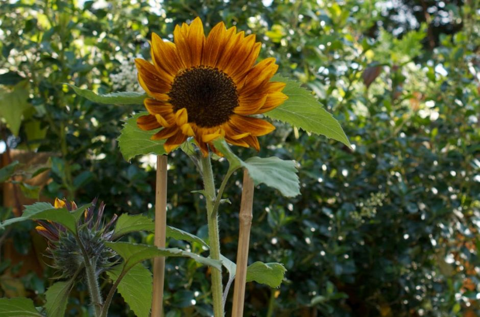 A more yellow sunflower that is supposed to be 'Claret'
