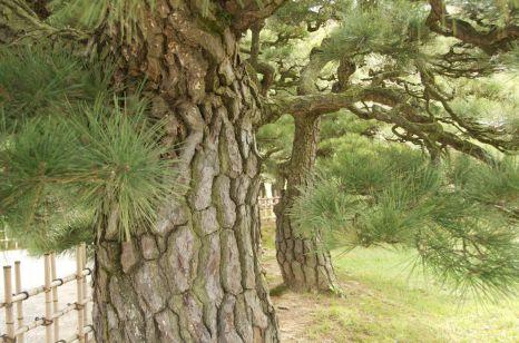 Male pine tree